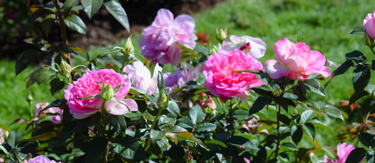 Concours roses 2020